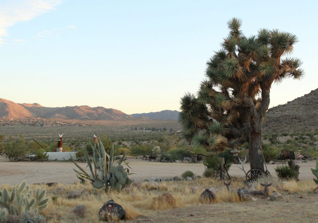 Large Joshua Tree in right hand corner with mountain views in the back and shrubs in the front