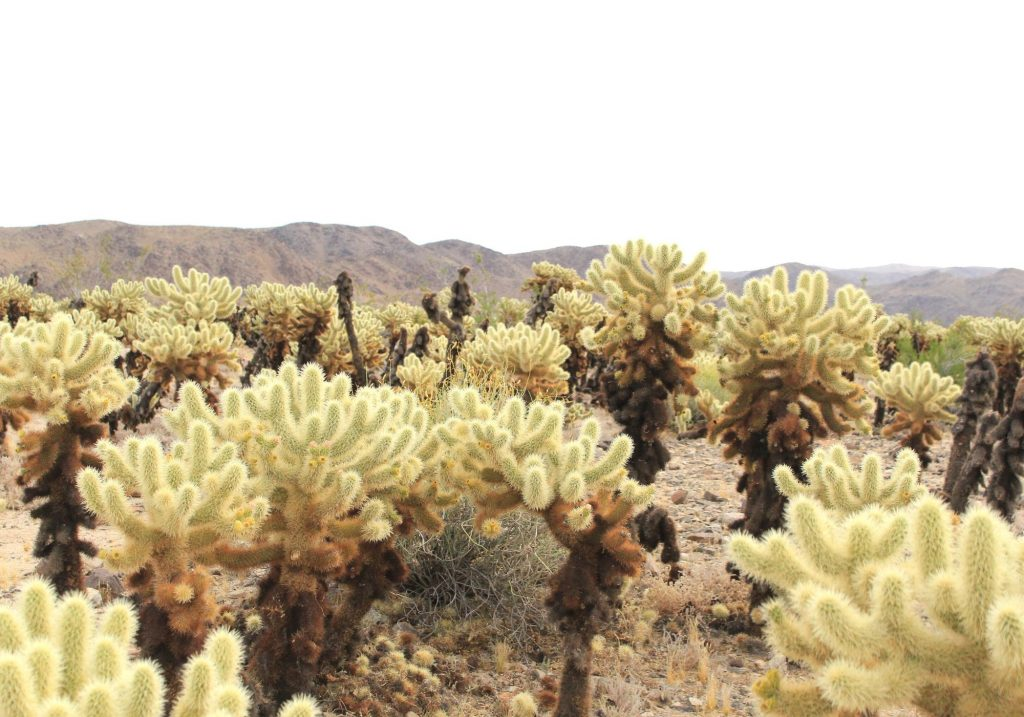 Cholla cactus with mountains in the background