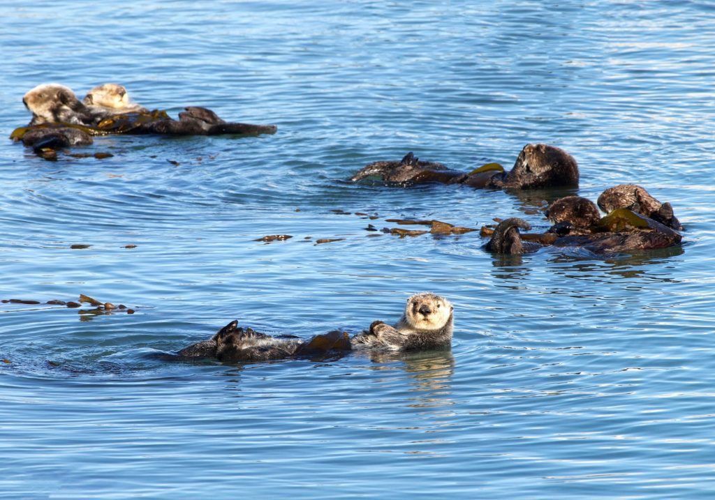 family of sea otters in the ocean