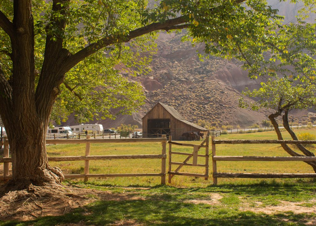 large green tree and fence frame the barn at Capitol Reef National Park